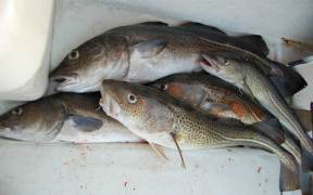 EC PROPOSES SIGNIFICANT COD CATCH
