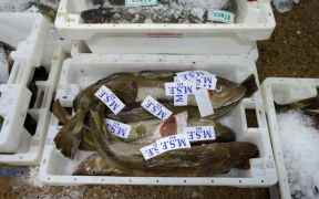 MSC NORTH SEA COD
