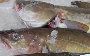 Big Cuts in Baltic Fishing