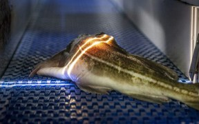 USING LIGHT TO DETERMINE FISH QUALITY