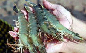 VIETNAMESE SHRIMP EXPORTS TO CHINA