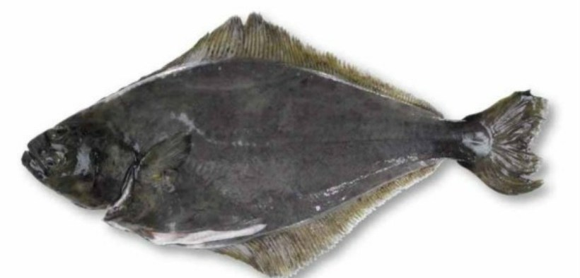 RESEARCHERS ASSESS WHETHER HALIBUT