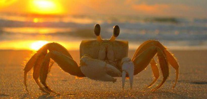 MICROPLASTICS AFFECT SAND CRABS