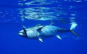 JAPANESE BLUEFIN TUNA FISHERY