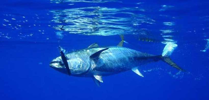 JAPANESE BLUEFIN TUNA FISHERY