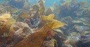 Australian Seaweed