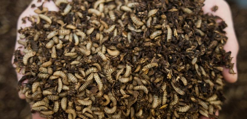 £10 million insect farm funding a boon for aquaculture sector