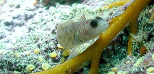FISH ADAPT TO OCEAN ACIDIFICATION