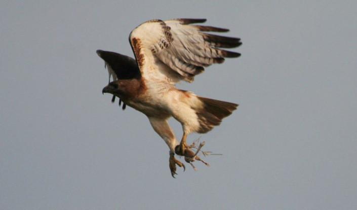 One in a million hawk photo