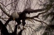 There Are Elegant Bald Eagle Videos and There Are Bald Eagle Videos That Are So Violent They're Captivating … This Is the Latter