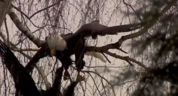 bald-eagle_2-620x337