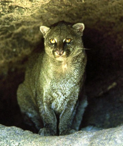 Jaguarundis-Fascinating Info on Mysterious Cats