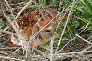Leave fawns, baby animals alone