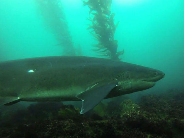 Rare sharks becoming more prominent off coast