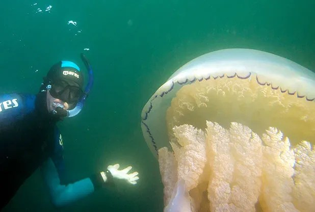 VIDEO AND PICTURES: Archaeologist believes this is the biggest jellyfish ever caught on camera in UK waters