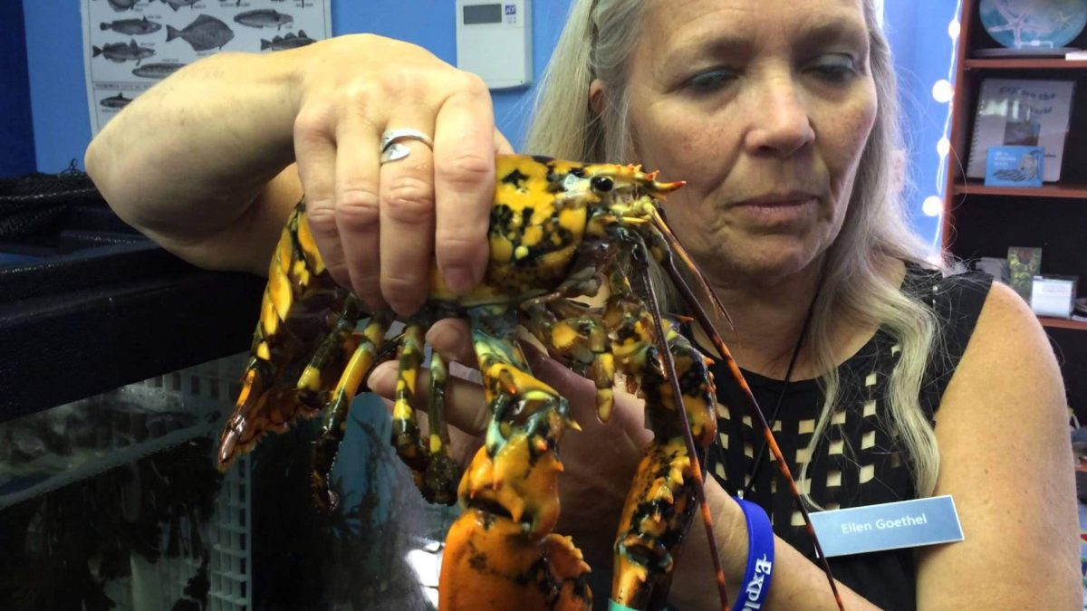 Calico lobster a hit in Hampton