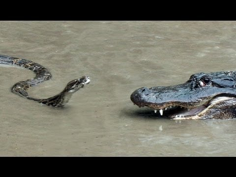 Ever wonder what it would be like to see a python fight an alligator? Check out this video
