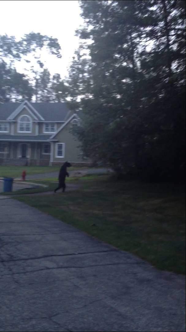 Bear walking upright like a man video: No hoax, bear walks this way for a reason