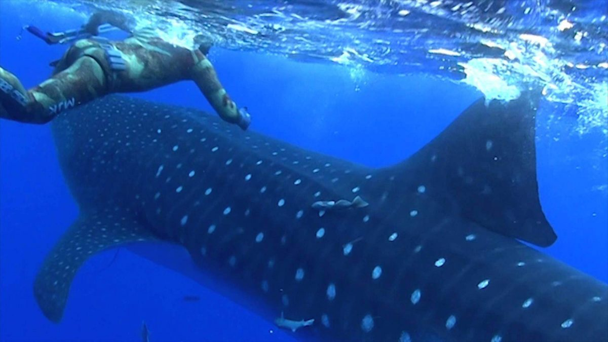 Whale Shark Sneaks Up on Diver, Hear His Reaction
