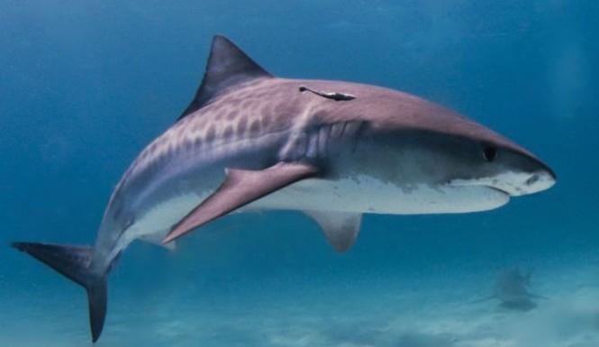 Tiger-Shark-665x385