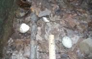Vulture Eggs