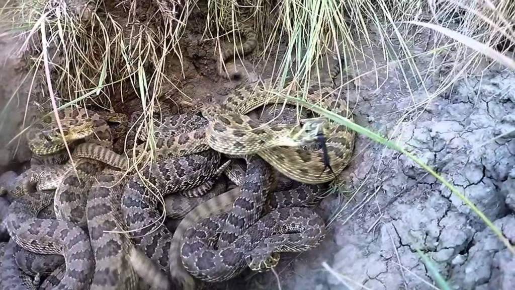 Rattlesnake takes slo-mo bite out of a GoPro camera (VIDEO)