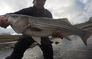 Texas Stripedbass
