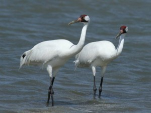 TF&G - WHOOPING CRANES