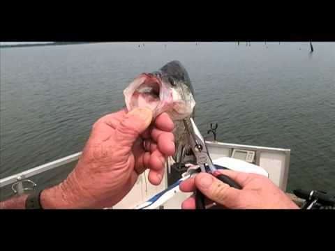 Video: Safely release deep hooked crappie