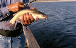 Channel catfish this size are perfect eating size fish. And, you can find them all over the state in every lake, river or pond.