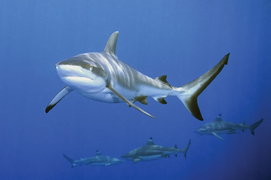 Blacktip sharks frequent shallow waters and are likely to be encountered by humans.