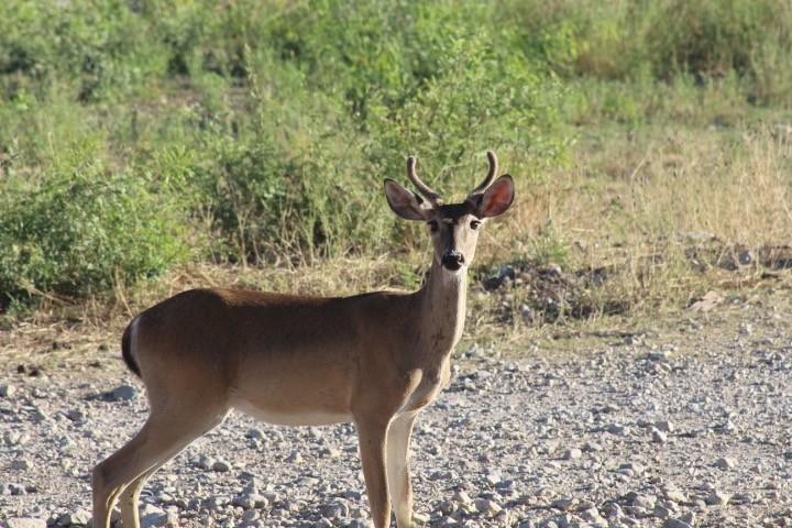 Mysterious Deer: Doe with antlers-help us identify other mystery deer