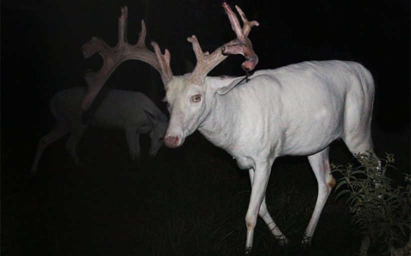 Weird Whitetails: The mystery of
