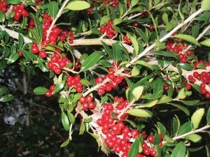 Yaupon is a ready staple for Texas deer.