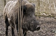 So, Where Did Texas Hogs Really Come From? The Answers Might Surprise You
