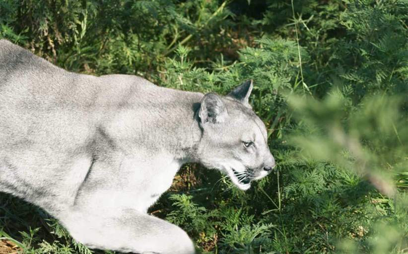 White Cougars in Texas? You've Got to See This! (Video)