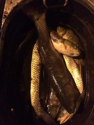 grass-carp-catch-800