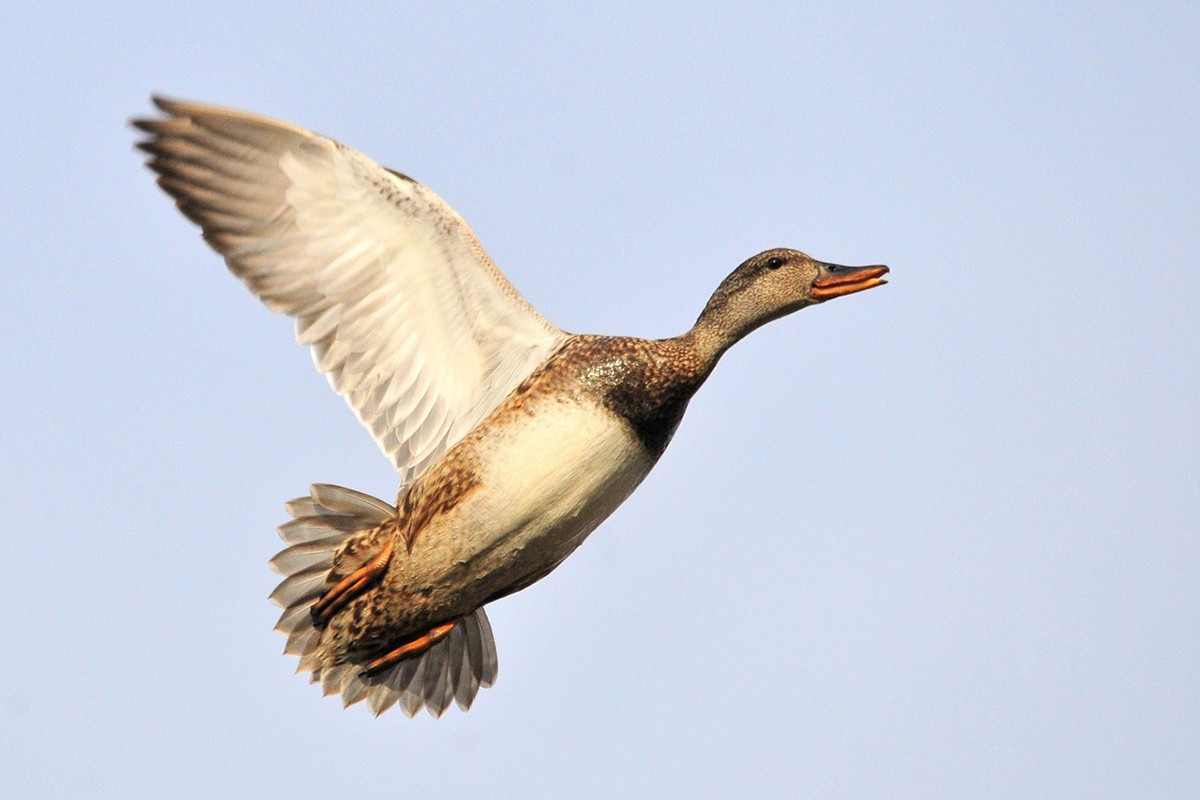 Gonzo for Gadwall