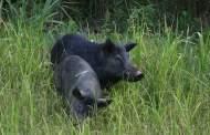 Poison Pork