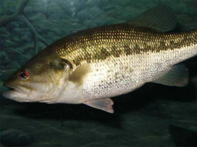 Biologists Confirm Genetics of First ShareLunker Offspring Entered into Program