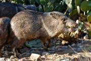 The Texas Javelina Massacre