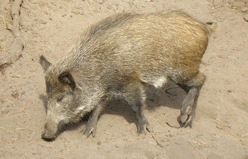 Hog Crazy