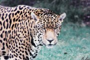 Jaguars in America: What the media is not saying