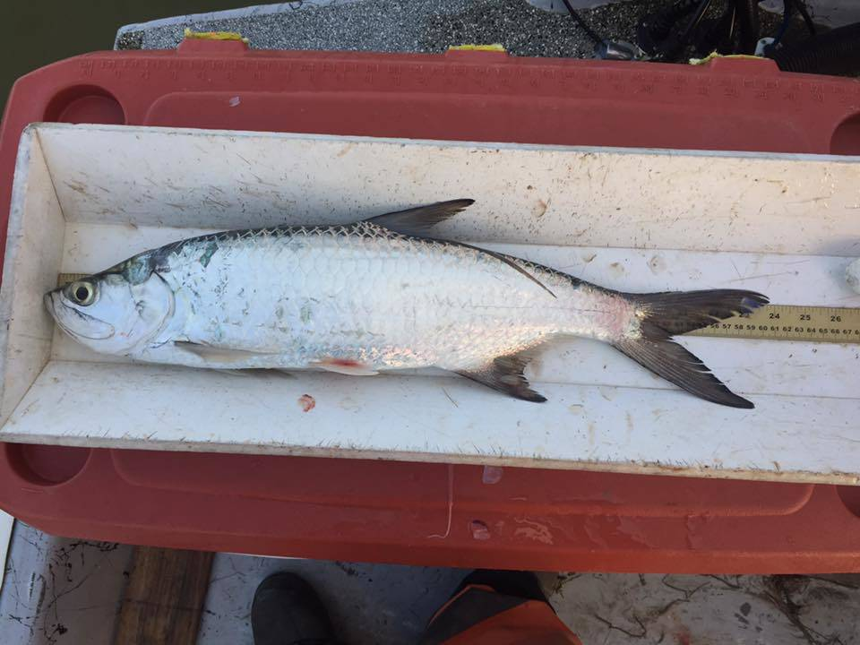Tpwd officials catch tarpon near san luis pass texas for San luis pass fishing