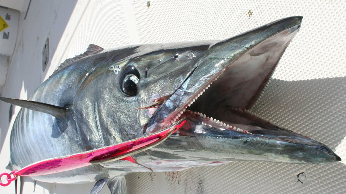 how to clean a wahoo fish