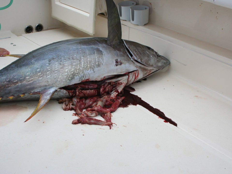 squid in yellowfin tuna