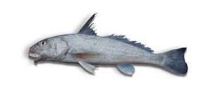 Gulf Kingfish (Whiting)