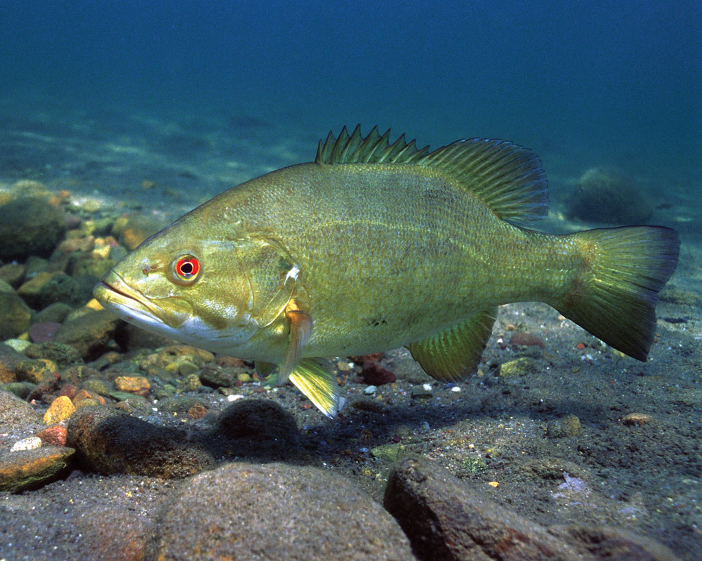 Underwater photo of a Smallmouth Bass over a rocky bottom.