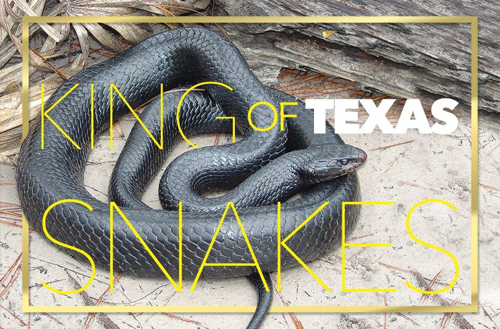 King Of Texas Snakes Texas Fish Game Magazine