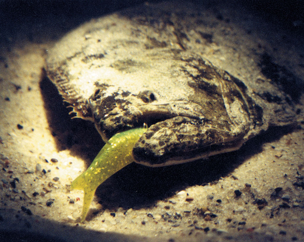 flounder on bottom